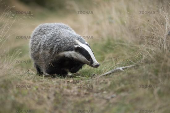 walking along badger's path... European Badger *Meles meles*