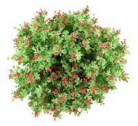 top view of pidgeon berry shrub plant isolated on white background