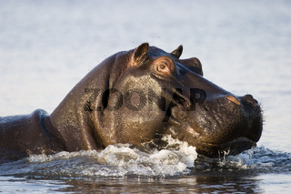 Flusspferd, Nilpferd, Großflusspferd (Hippopotamus amphibius) im Chobe Fluss, Chobe-Nationalpark, Botswana, Afrika, Hippo in Chobe River, Chobe NP, Africa