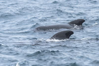 Long-Finned Pilot Whale, Globicephala melas, Gewoehnlicher Grindwal
