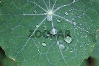 Kapuzinerkresse mit Wassertropfen