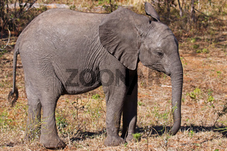 Junger afrikanischer Elefant, Loxodonta africana, Botswana