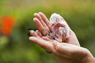 Eulen Baby in einer Hand, Botswana, Afrika, owlet in mans hand, Africa