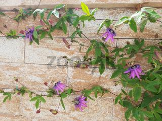 Passiflora violacea; Violette; Passionsblume; Kletterpflanze, Heilpflanze