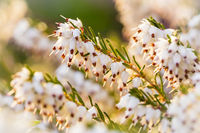 Calluna vulgaris - known as common heather, ling, or simply heather