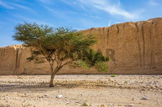 Acacia n the Black Canyon