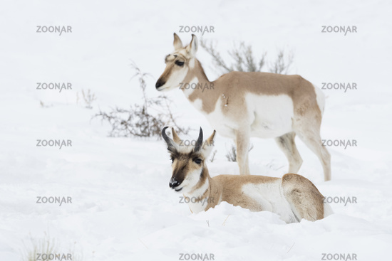 male and female... Pronghorns *Antilocapra americana*
