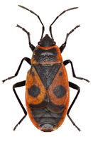 The Firebug on white Background  -  Pyrrhocoris apterus  (Linnaeus, 1758)