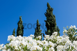 White Flowers and Cypresses in Background near Split, Croatia