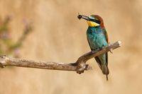 bee-eater on a branch with a bee