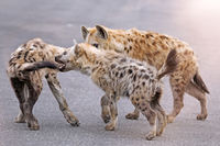 young hyenas playing on the street, south africa