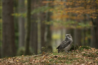 sitting on the ground... Great Horned Owl *Bubo virginianus*