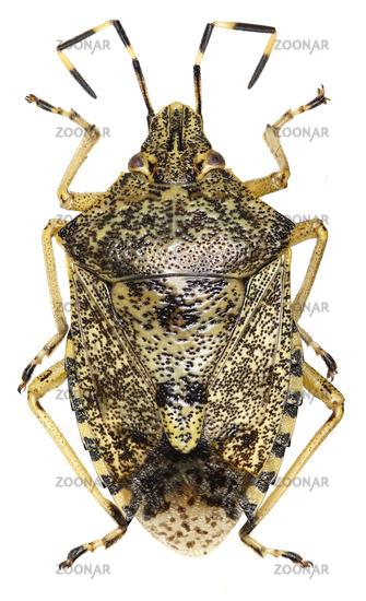 Mottled shield bug on white Background  - Rhaphigaster nebulosa (Poda, 1761)