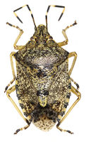 Mottled shield bug on white Background  - Rhaphigaster nebulosa (Poda, 1761)
