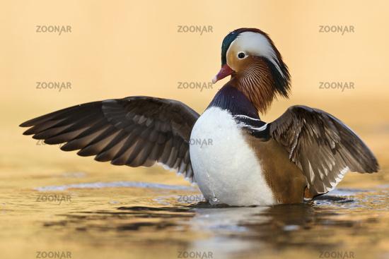 golden october light... Mandarin Duck *Aix galericulata*
