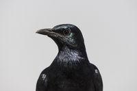 Cape crow (Corvus capensis), Table mountain