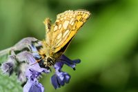 Arctic skipper on a catmint
