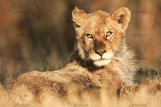 Young lion, South Africa, Kalahari