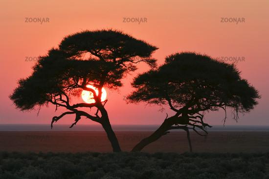 Acacia at sunrise, Etosha National Park, Africa