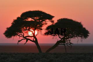 Akazie im Sonnenaufgang, Etosha National Park, Namibia, Afrika, Acacia at sunrise, Etosha National Park, Africa