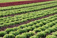 Salatfeld3
