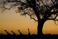 Giraffe silhouettes at sunset. Etosha National Park, Namibia.