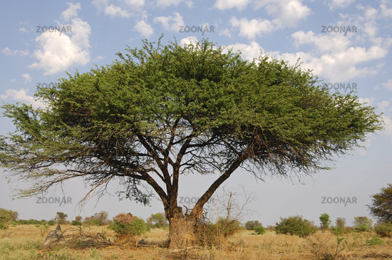 Schirmakazie (Acacia tortilis)