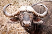 South Africa, African buffalo