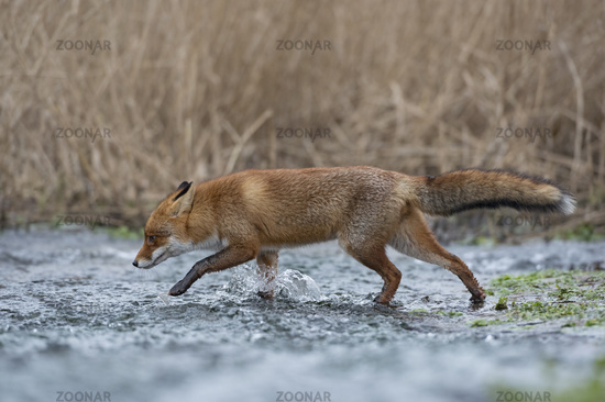 crossing a creek... Red Fox *Vulpes vulpes*