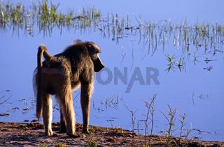 Baboon im Morgen-/Gegenlicht an einem See im Susuwe Nationalpark, Namibia