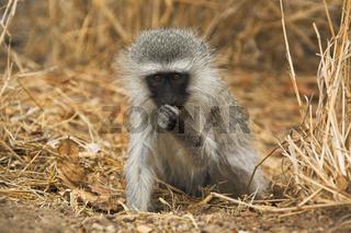 Gruene Meerkatze, Gruenmeerkatze (Chlorocebus), Krueger Nationalpark, Suedafrika, Afrika, Chlorocebus, vervet monkey or green monkey, Kruger National Park, South Africa