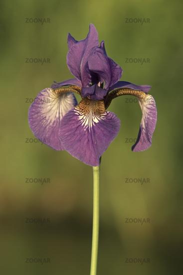 Siberian iris [Iris sibirica]