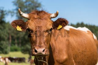 Portrait einer Kuh auf der Weide