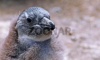 Junger Brillenpinguin, Boulders Beach, Südafrika, young African penguin, Boulders Beach, South Africa