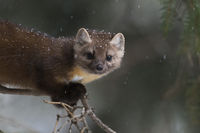 for just a second... American pine marten *Martes americana*