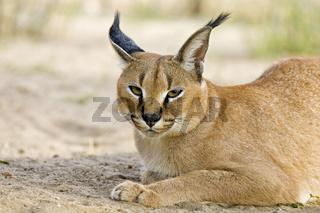 Karakal, Wuestenluchs (Caracal caracal), Namibia, Afrika, Caracal, Persian Lynx or African Lynx, Africa