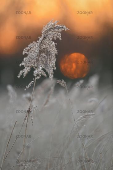 Sunset above wetlands... Reed Grass *Phragmites australis*