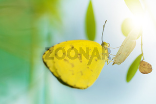 Close up yellow butterfly