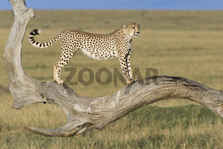 Gepard, (Acinonyx jubatus), Cheetah