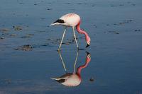 Flamingo bei der Nahrungsaufnahme
