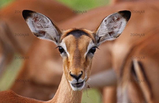 Young Impala, South Africa