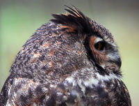 Portrait of a Spotted Eagle Owl (Bubo africanus)