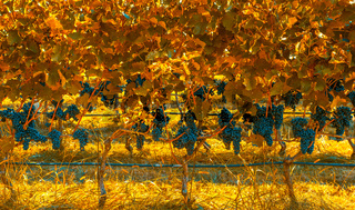 Vineyard in autumn colors
