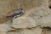 detailed side view... Sand Martin / Bank Swallow  *Riparia riparia*