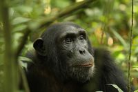 Chimp lost in thoughts