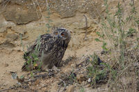 almost independent... Eurasian Eagle Owl *Bubo bubo*