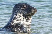 Portrait of a grey seal