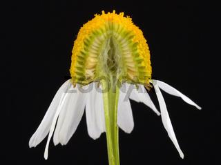 Echte Kamille Blütenboden hohl