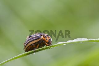 Kartoffelkäfer (Leptinotarsa decemlineata) - potato beetle (Leptinotarsa decemlineata)