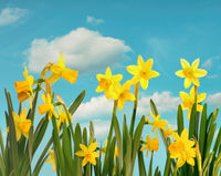 Spring daffodils with blue sky and clouds